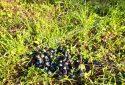 Çandarlı Satılık Zeytinlik Tarla Otoyola Çok Yakın